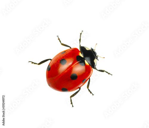 Canvas Print Ladybug