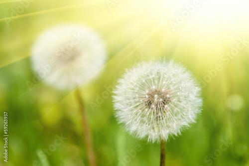 słoneczna łąka z dandelions