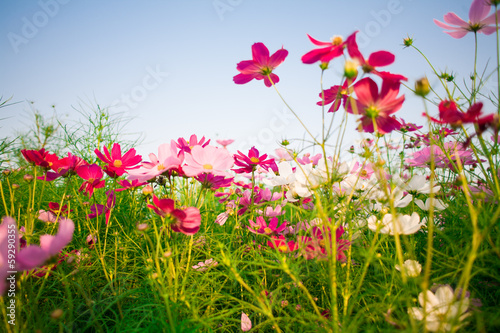 Univers Beautiful Cosmos flowers on sky background