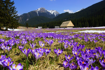 Obraz na Szkle Crocuses in Chocholowska valley, Tatras Mountain, Poland
