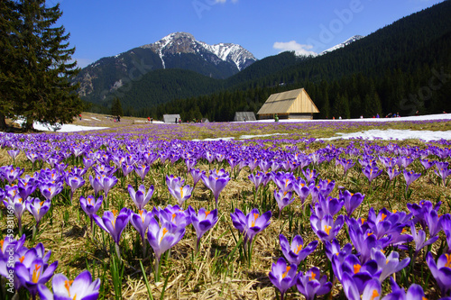 Tuinposter Krokussen Crocuses in Chocholowska valley, Tatras Mountain, Poland