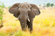 canvas print picture - African Elephant Bull. Kruger National Park, South Africa