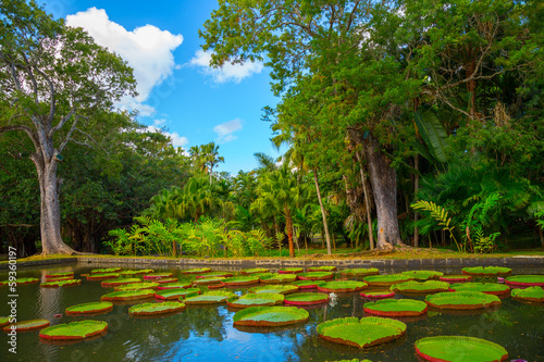 """Foto  Huge lily pads """"Amazonian Victoria"""" in the park"""