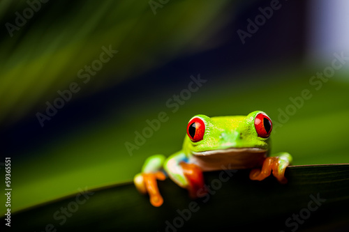 Spoed Foto op Canvas Kikker Frog on a leaf in the jungle
