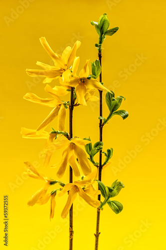 Spoed Foto op Canvas Bloemen vrouw Spring forsythia flowers on yellow background
