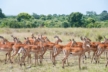 Herd Of Impalas - National Par...