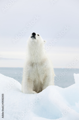 Recess Fitting Polar bear Polar bear at Svalbard