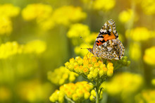 Painted Lady Butterfly  On A F...