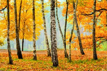 Obraz na Szkle Drzewa Birches in the fall park