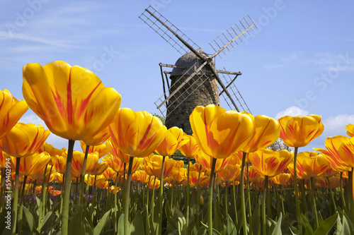 Obraz Tulpen in  Holland mit Windmühle - fototapety do salonu
