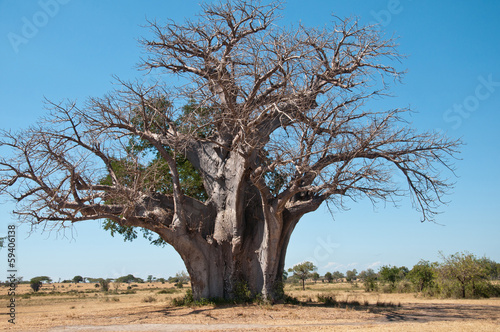 huge baobab tree in tanzania - national park selous game reserve