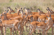 Impalas Crowded Together In Th...