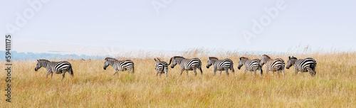 Staande foto Zebra zebras in a row walking in the savannah in africa - masai mara