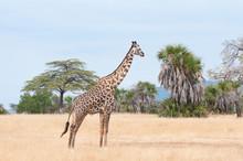 Giraffe Prowling Around In The...