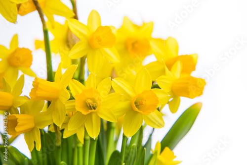 Papiers peints Narcisse narzissen freigestellt studio