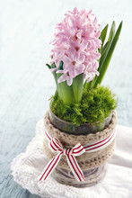 Pink Hyacinth Flower In A Glas...