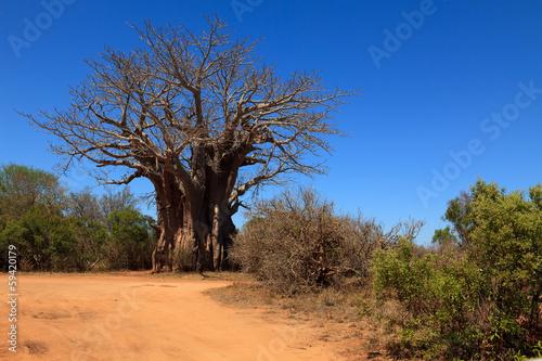 In de dag Baobab Afrikanischer Affenbrotbaum