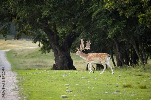 Fotobehang Ree deer