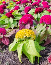 Cockscomb Flower Field