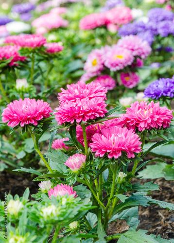Poster de jardin Dahlia pink flower field