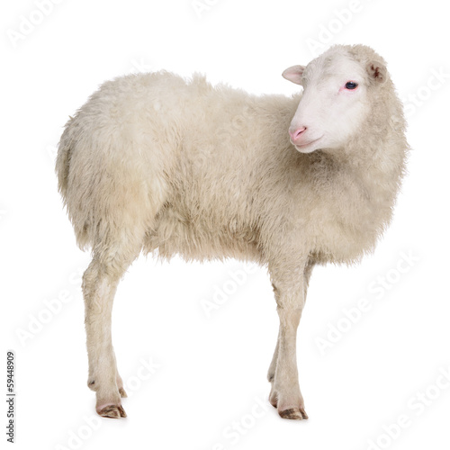Poster de jardin Sheep sheep isolated on white
