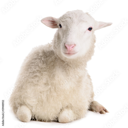 Fotografia sheep isolated on white