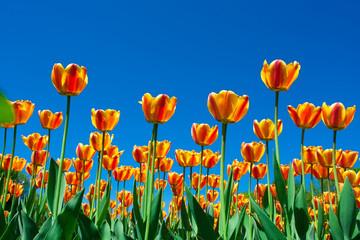 fototapeta tulipany mieszane