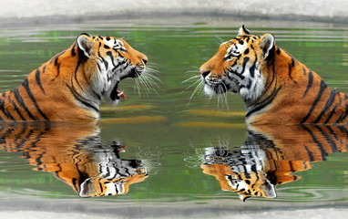Obraz na SzkleSiberian Tigers in water