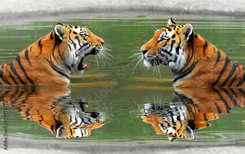 Obraz Tygrysy syberyjskie w wodzie - fototapety do salonu