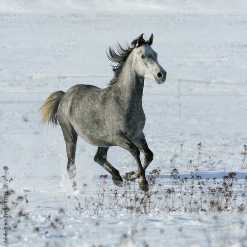 Foto op Canvas Paarden Beautiful arabian horse running in winter
