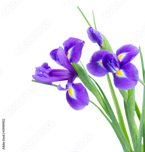 Poster de jardin Iris blue irise flowers close up