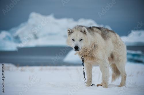 Door stickers Pole Greenlandic sled dog