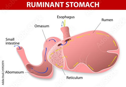 Ruminant stomach Wallpaper Mural