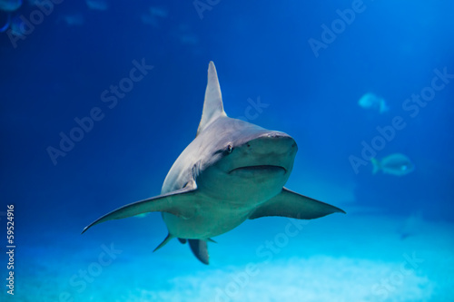 Shark under water,big predator fish