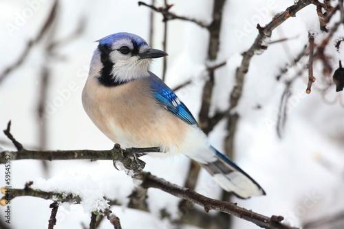 Sticker - Blue Jay In Snow