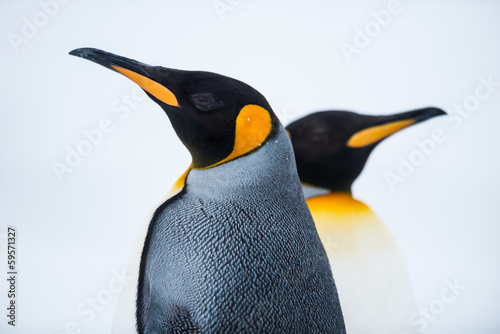 Deurstickers Pinguin King Penguin Couple in love