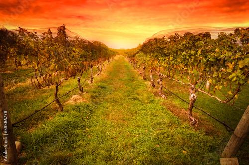 Wall Murals Vineyard Grape vine at vineyard under idyllic sunset