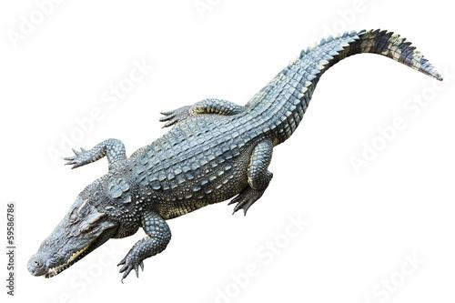 Stampa su Tela crocodile on white background.