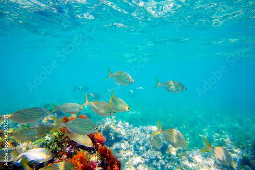 Foto op Plexiglas Koraalriffen Mediterranean underwater with salema fish school