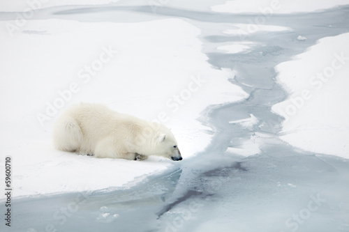 Polar bear waiting for seals