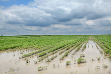 Agriculture, Flooded Soy Field...
