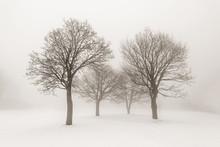 Winter Trees In Fog