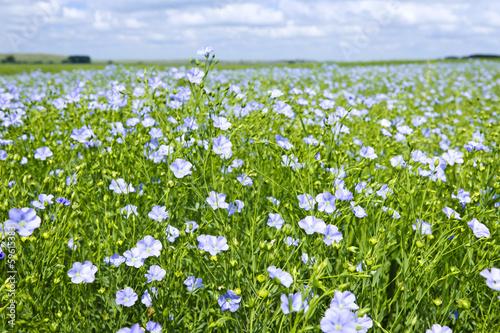Foto auf Gartenposter Landschappen Blooming flax field