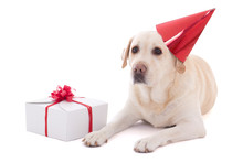Dog (golden Retriever) In Birthday Hat With Gift Isolated On Whi