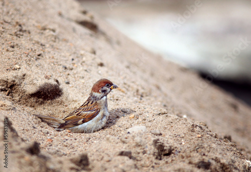 Sparrow cleaned in the sand Canvas Print