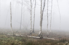 Silver Birch Trees In The Fog