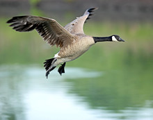 Canadian Goose In Flight2