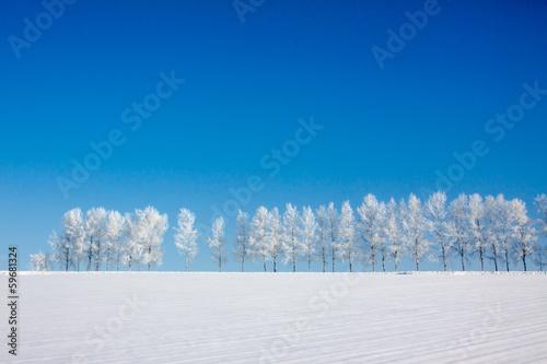 Fotografie, Obraz  雪原の白樺並木