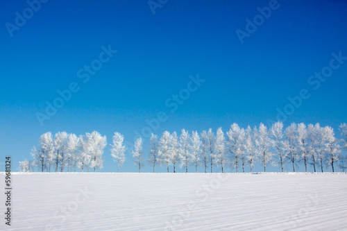 Obraz na plátně  雪原の白樺並木