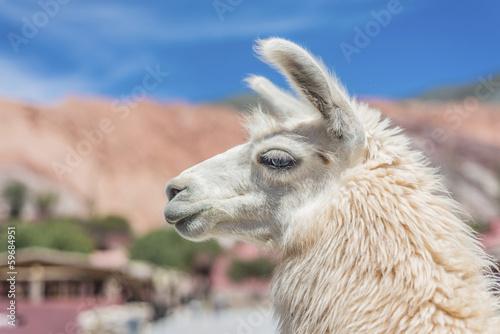 Staande foto Lama Llama in Purmamarca, Jujuy, Argentina.